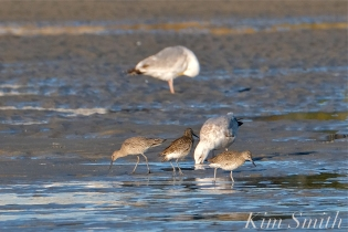 Willet Good Harbor Beach Gloucester MA copyright Kim Smith