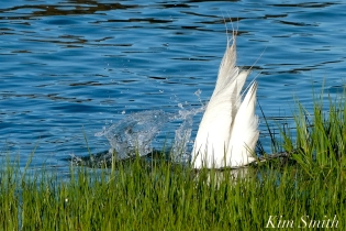 Great Egret GHB Gloucester MA copyright Kim Smith - 02