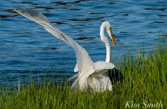 Great Egret GHB Gloucester MA copyright Kim Smith - 03 jpg
