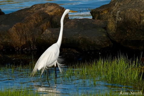 Great Egret GHB Gloucester MA copyright Kim Smith - 06 copy