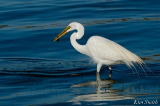 Great Egret GHB Gloucester MA copyright Kim Smith - 10