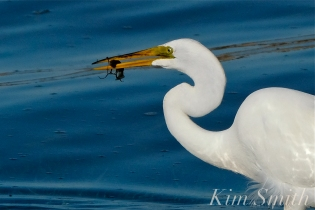 Great Egret GHB Gloucester MA copyright Kim Smith - 11 copy