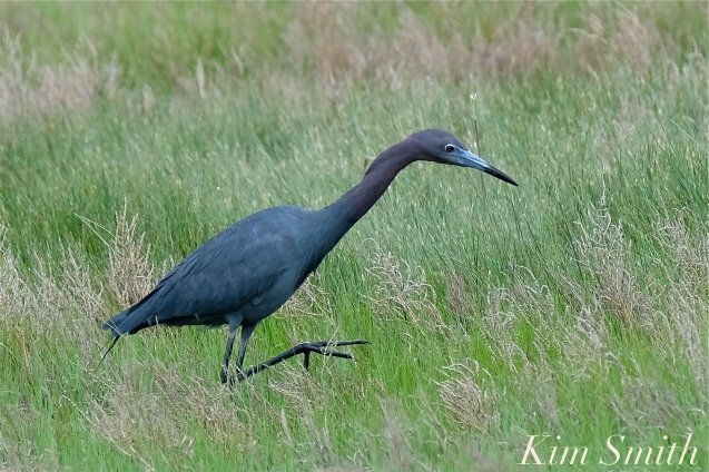 Little Blue Heron -2 copyright Kim Smith