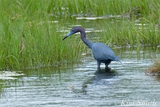 Little Blue Heron -3 copyright Kim Smith