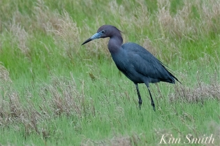Little Blue Heron copyright Kim Smith
