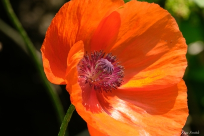 Orange Field Poppies -5 copyright Kim Smith