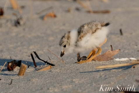 Piping Plover chick 10 days old Gloucester MA copyright Kim Smith - 16