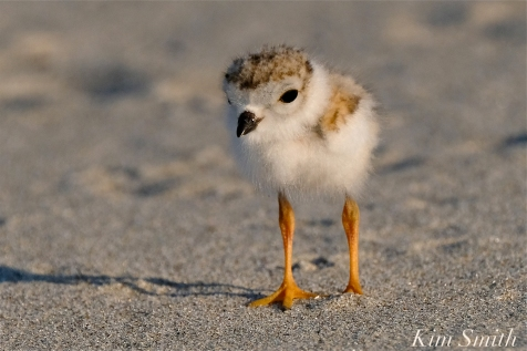 Piping Plover chick 10 days old Gloucester MA copyright Kim Smith - 20 copy