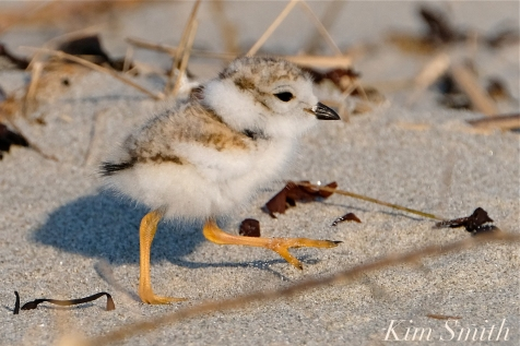 Piping Plover chick 10 days old Gloucester MA copyright Kim Smith - 23 copy