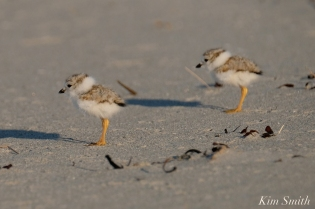 Piping Plover chick 10 days old Gloucester MA copyright Kim Smith - 28 copy