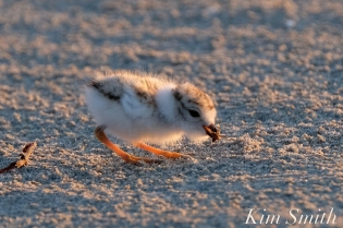 Piping Plover chick 7 days old eating a bug Gloucester MA copyright Kim Smith - 03