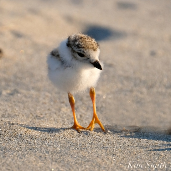 Piping Plover chick 9 days old Gloucester MA copyright Kim Smith - 18