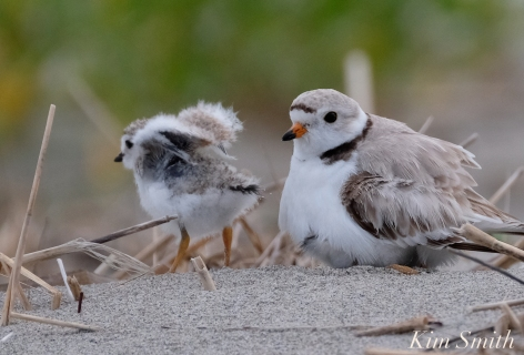 Piping Plover Chicks 17 days old female adult GHB copyright Kim Smith - 08