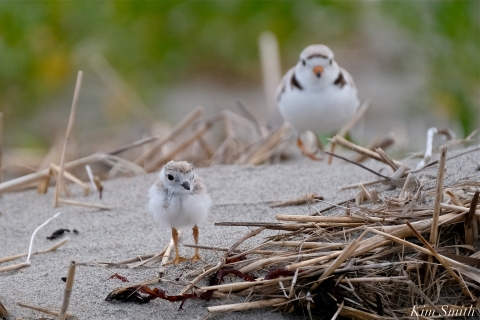 Piping Plover Chicks 17 days old GHB copyright Kim Smith - 09
