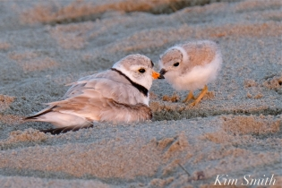 Piping Plover Chicks 22 days old adult male GHB copyright Kim Smith - 13