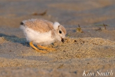 Piping Plover Chicks 22 days old GHB copyright Kim Smith - 17