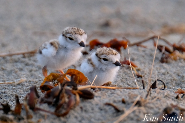 Piping Plover Chicks 3, 4, 5 days old Gloucester MA copyright Kim Smith - 09