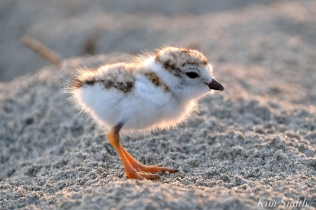 Piping Plover Chicks 3 day old Gloucester MA copyright Kim Smith - 11
