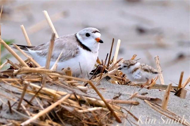 Piping Plover Chicks One Day Old 2019 Gloucester MA copyright Kim Smith - 04