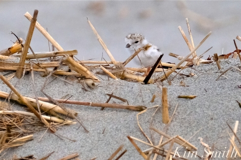 Piping Plover Chicks One Day Old 2019 Gloucester MA copyright Kim Smith - 05