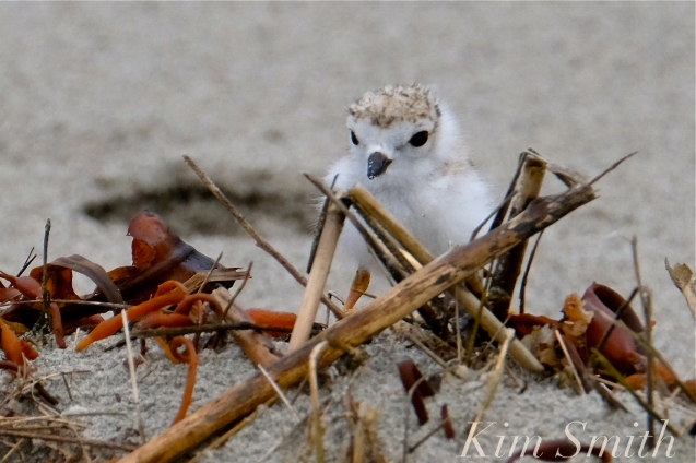 Piping Plover Chicks Two Weeks Old Gloucester MA copyright Kim Smith - 05 copy