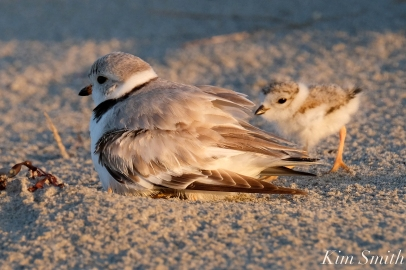 Piping Plover female chick 7 days old Gloucester MA copyright Kim Smith - 10 copy