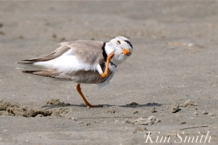 Piping Plover Male GHB Gloucester MA copyright Kim Smith - 14