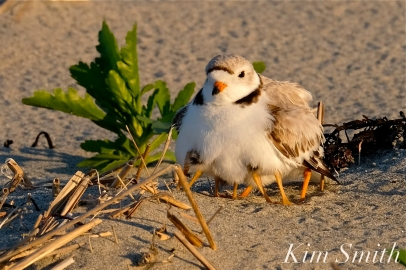 Piping Plover OctoMom 8 days old Gloucester MA copyright Kim Smith - 12 copy