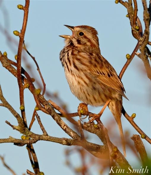Song Sparrow Good Harbor Beach copyright Kim Smith