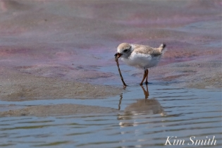 Piping Plover Chick foraging 25 days old copyright Kim Smith - 02 copy