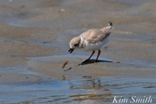 Piping Plover Chick foraging 25 days old copyright Kim Smith - 03 copy