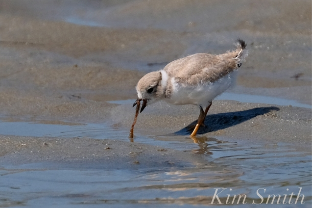 Piping Plover Chick foraging 25 days old copyright Kim Smith - 04 copy
