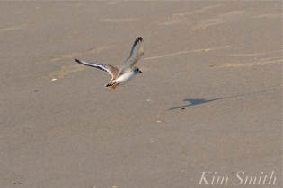 Piping Plover Fledglings 35 days old copyright Kim Smith - 15
