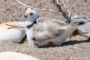 Piping Plovers Nesting Heat Wave copyright Kim Smith - 1
