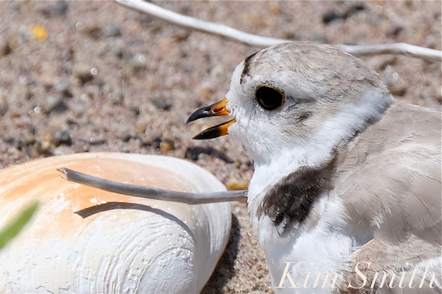 Piping Plovers Nesting Heat Wave copyright Kim Smith - 3