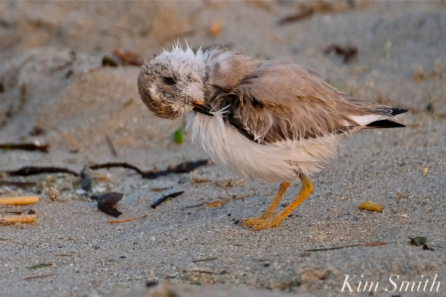 Semipalmated Plover Chick Fledgling Good Harbor Beach Massachusetts copyright Kim Smith - 03