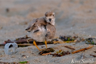Semipalmated Plover Chick Fledgling Good Harbor Beach Massachusetts copyright Kim Smith - 04