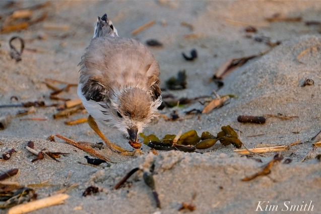 Semipalmated Plover Chick Fledgling Good Harbor Beach Massachusetts copyright Kim Smith - 06