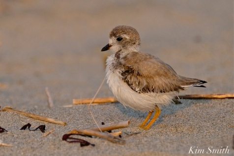 Semipalmated Plover Chick Fledgling Good Harbor Beach Massachusetts copyright Kim Smith - 13