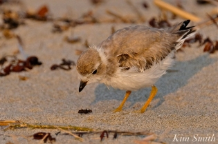 Semipalmated Plover Chick Fledgling Good Harbor Beach Massachusetts copyright Kim Smith - 15