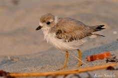 Semipalmated Plover Chick Fledgling Good Harbor Beach Massachusetts copyright Kim Smith - 17