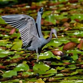 Little Blue Heron and Dragonfly Gloucester Massachusetts copyright Kim Smith - 06 jpg