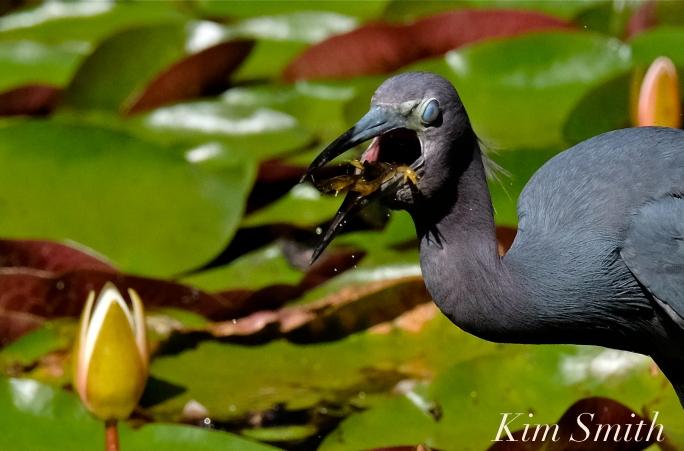 Little Blue Heron Eating Froglet Gloucester Massachusetts copyright Kim Smith - 12
