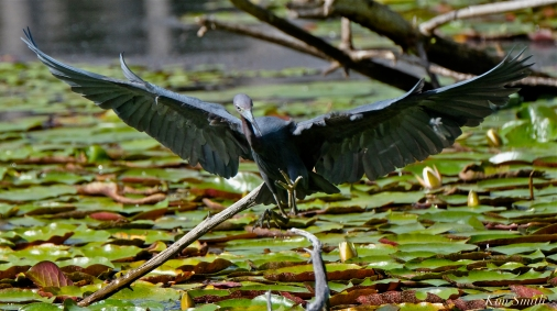Little Blue Heron Flying Gloucester Massachusetts copyright Kim Smith - 04