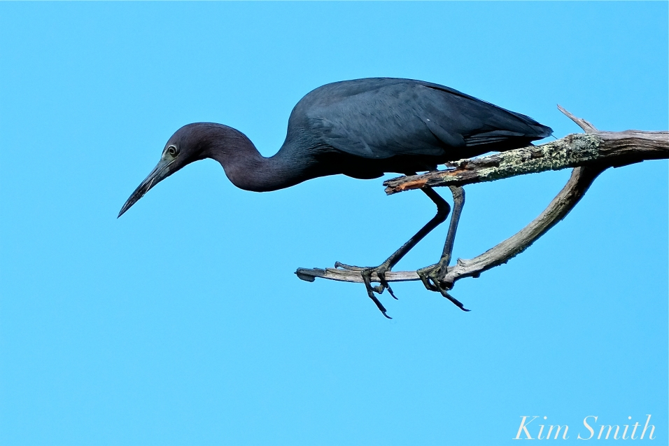 Little Blue Heron Gloucester Massachusetts copyright Kim Smith - 01 copy