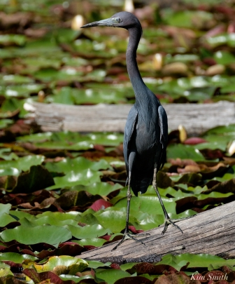 Little Blue Heron Gloucester Massachusetts copyright Kim Smith - 03 copy