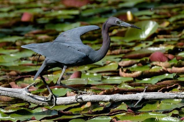 Little Blue Heron Gloucester Massachusetts copyright Kim Smith - 05