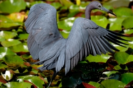 Little Blue Heron Gloucester Massachusetts copyright Kim Smith - 13