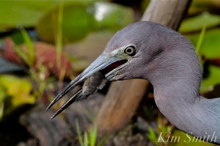 Little Blue Heron Gloucester Massachusetts copyright Kim Smith - 15