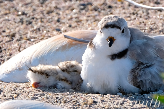 Piping Plover Chick Hatching copyright Kim Smith - 02
